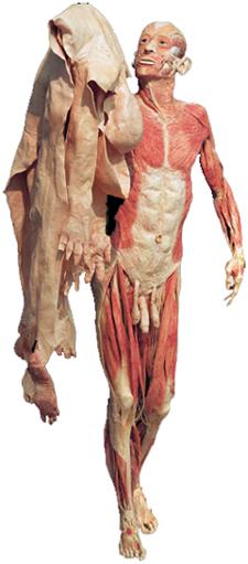 Menschlicher Körper als Ausstellungsstück. Ganzkörperplastinat mit Haut.