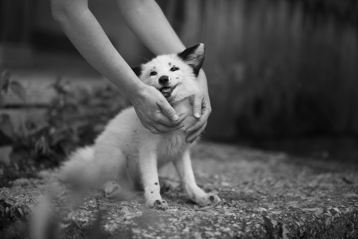 A three-month-old fox enjoys a pat from its human carer. This docile, friendly fox is the result of a 60-year breeding experiment at the Institute of Cytology and Genetics, in Novosibirsk, Siberia. Copyright: The Institute of Cytology and Genetics, Novosibirsk, Russia