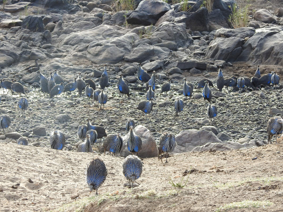 Groups of vulturine guineafowl can become very large, and when multiple groups come into contact the number of birds moving together can reach into the hundreds. However, when these 'super-groups' eventually split, they do so back into their original stable group units, meaning that individuals are knowledgeable about who is part of their group and who is not. Image credit: Danai Papageorgiou
