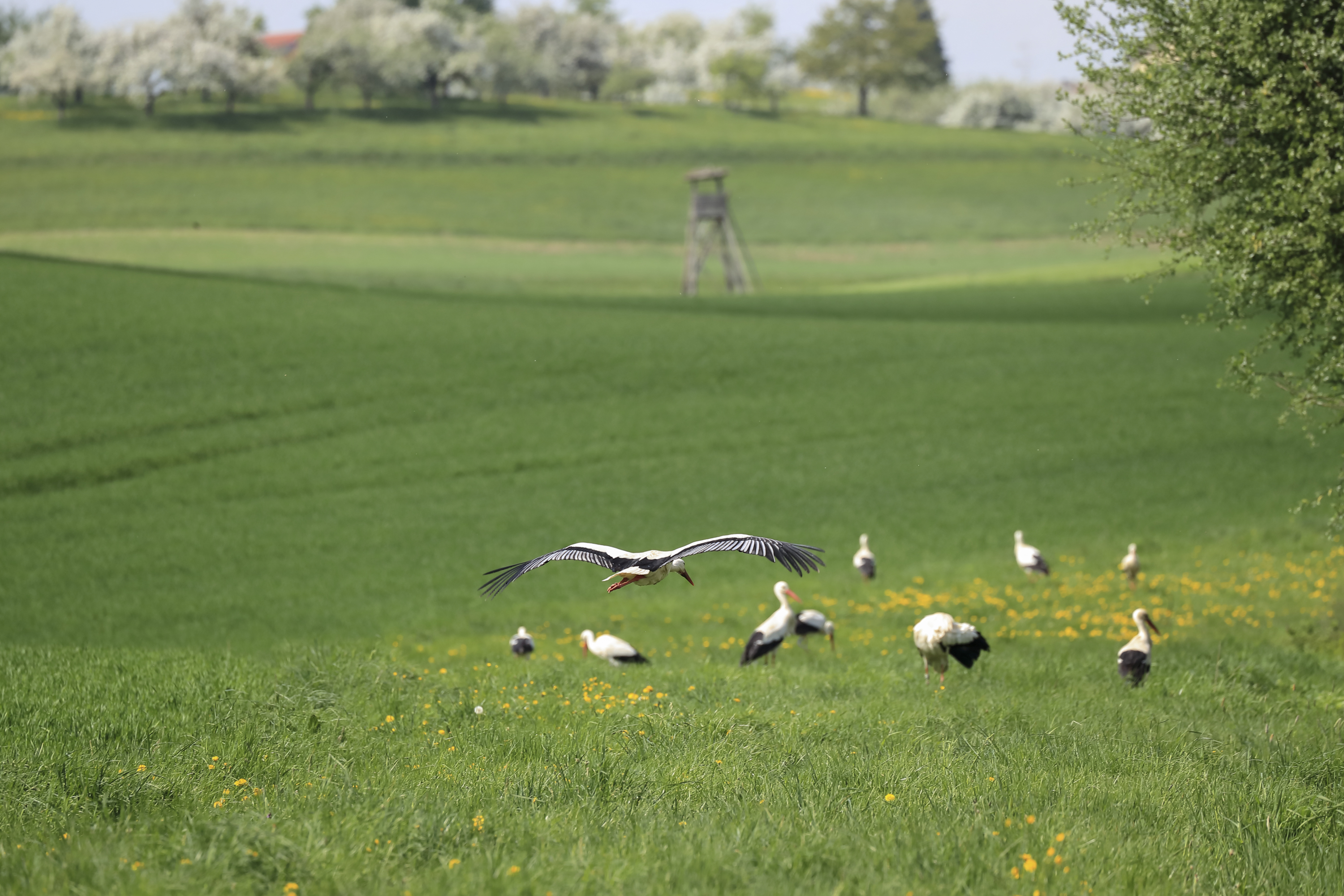 Stork flying towards a group of white storks in the field.  Photo: Christian Ziegler. Copyright: MaxCine, Max Planck Institute for Ornithology in Radolfzell